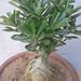 Bonsai Adenium 5