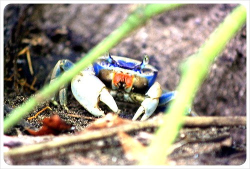 Coloured crab cahuita