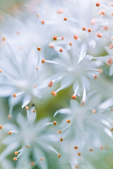 Early Spring Stars (John Cothron) Tags: plants white plant abstract flower nature georgia petals spring unitedstates pistil stamen bloom wildflower unioncounty tiarellacordifolia foamflower blairsville saxifragaceae sosebeecovetrail saxifragefamily johncothron cothronphotography