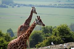 Port Lympne giraffes overlooking the Kent countryside (Daves Portfolio) Tags: animals kent african safari giraffe safaripark wildanimals portlympne wildlifeexperience aspinall