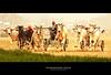 Make Way for the Champion ! (Harvarinder Singh) Tags: india canon indianvillage miniolympics realindia kilaraipur therealindia canoneos5dmarkii bullockcartracing harvarindersinghphotography harvarindersingh kilaraipurruralgames