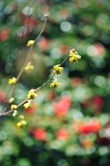 Moments in the Imperial Garden (*Sakura*) Tags: red flower nature japan tokyo spring  sakura   notmacro   spikewinterhazel