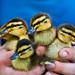 More New Ducks