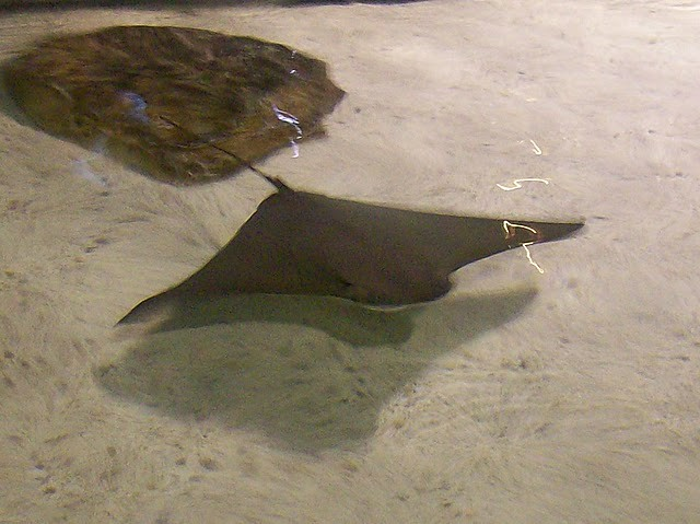 sting ray by xx13rulesxx