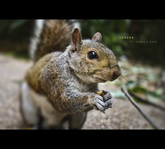 Eastern Grey Squirrel in St James's Park (Photofreaks) Tags: park city uk autumn england hairy color london eye tourism nature k animal st horizontal fence bench geotagged outside mammal nose one james spring squirrel europe britain united tail capital great sightseeing cities kingdom s queen eat u stjamespark peanut stjamesspark jamess gbr sciuridae easterngreysquirrel photofreaks grosbritannien geo:lat=5150212010 geo:lon=013392040 wwwphotofreakseu laradphotography