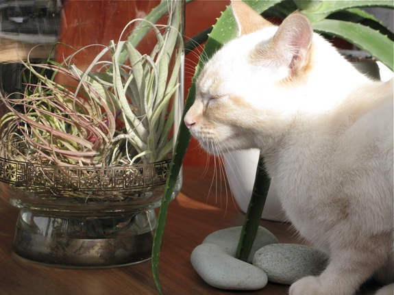 mingus white siamese cat air plant 001