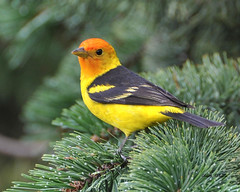 Western Tanager male (colorob) Tags: birds colorado littleton westerntanager pirangaludoviciana coloradowildlife colorob