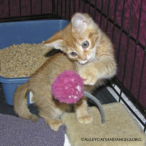 Montgomery Jack, orange ginger tabby kitten