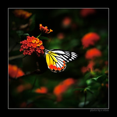Everlasting whispers [explore - front page] (e.nhan) Tags: flowers light black flower art nature closeup butterfly landscape spring colorful colours dof bokeh arts butterflies backlighting enhan animalkingdomelite