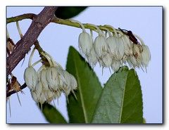 Blue Quandong - flowering tree by Tatters:)