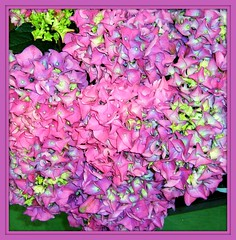 Flower Kaleidoscope   !!!!!! (Mumsie Wood) Tags: plant flower macro green beautiful close clusters lilac hydrangea shrub pinks centres