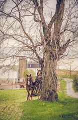 tied (Jen MacNeill) Tags: horses horse tree work team pennsylvania farm farming farmland amish pa driveway belgian farmer lancastercounty draft workhorse leadinglines jennifermacneill thelittledoglaughedohtellusstories