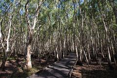 Kommo Toera Walkway (oz_lightning) Tags: nature water ecology forest landscape coast australia wetlands qld queensland mackay aus melaleuca myrtaceae canonef24105mmf4lisusm canon6d mackayharbour