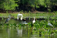 Scne ornitho-aquatique (PtiteArvine) Tags: birds brasil pantanal oiseaux brsil spatulerose grandeaigrette hrontigre