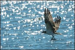 Juv. Osprey Hunting @ Cape May NJ (Nikographer [Jon]) Tags: doublefisted twofish fish fishing juvenile beach atlanticocean nikographer 600mmf4 d500 nikon wildlife nature birds bird newjersey capemay osprey capemaynewjerseybirdmigrationnjhawkfishinghuntingatlanticoceanbifnikographernaturewildlifenikond500nikond50020160925d500032246fallsepseptember2016juvenile