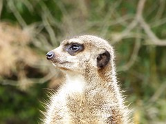 Erdmnnchen (SabineausL) Tags: erdmnnchen tier zoo sabineausl panasonic lumix dmctz61 zoologischergarten zooleipzig leipzigerzoo suricatasuricatta suricat