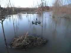Hochwasser 16.01.2011 - Die Ruraue bei Vlodrop (7) (Electronicbude) Tags: von der roermond hochwasser rur nhe