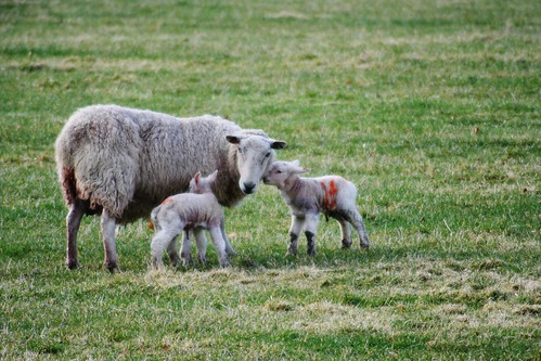 Spring lambs, Speyside