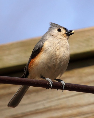 Tufted Titmouse with Food