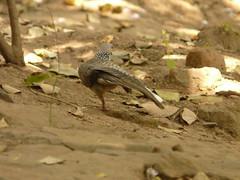 P1150517 (babsybou) Tags: travel india birds silent watching kerala du valley yatra sud inde attapadi birdswatching babsybou malleeshwaramjunglelodge pettickal