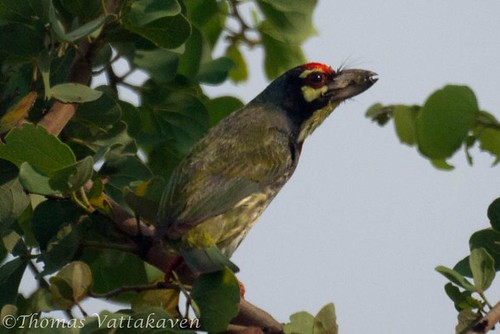Coppersmith Barbet, Crimson-breasted Barbet or Coppersmith (Megalaima haemacephala)