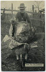 How's This For Cabbage? (Alan Mays) Tags: old men vintage funny humorous antique humor hats fences ephemera postcards wheelbarrows exaggerations 1900s pushing 1909 cabbages talltales photoartshop postcardpublishers talltalepostcards