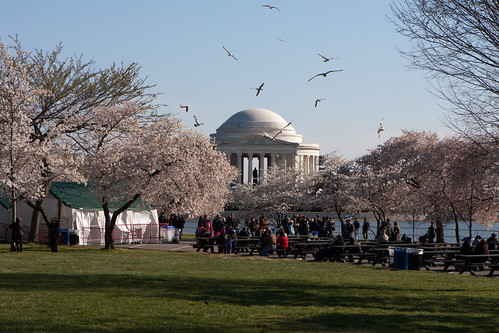 Cherry Blossoms 2011-9875.jpg