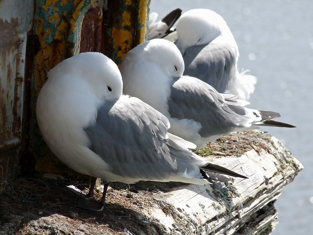 24114 - Kittiwake on Mumbles Pier