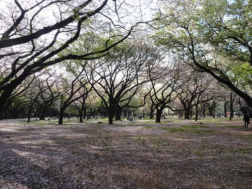 2010 sakura。東京新宿御苑盛開的櫻花