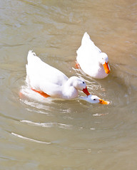 IL TRIANGOLO NO!!!! NON L'AVEVO CONSIDERATO (zagor64.) Tags: water agua acqua animali marche oche obiettivo sanbenedettodeltronto anawesomeshot zagor64