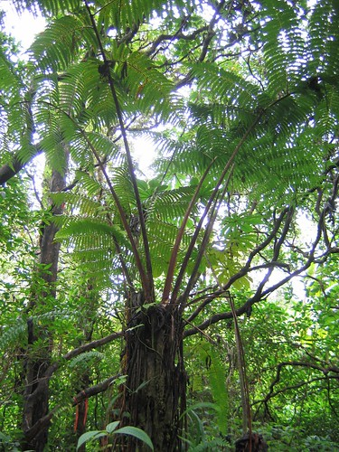 Hapu'u (Cibotium glaucum) is a native tree fern and a common understory species found in Hawaiian wet forests.
