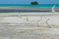 Volar! (el pequeo ojo) Tags: island venezuela playa caribbean isla tortugas losroques caribe bonefish catchandrelease archipilago pescadeportiva pezratn