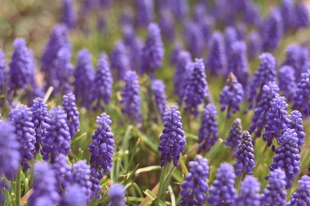 spring colors week--lavender