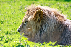 In a sea of green (pattoise) Tags: zoo lion headshot bigcat parcdesfelins