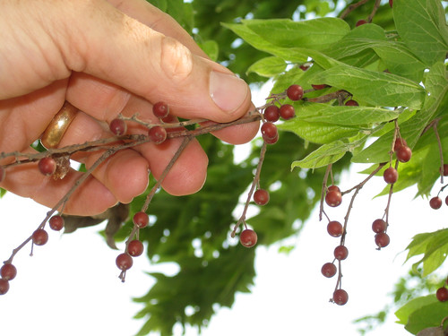 HackberryBerries