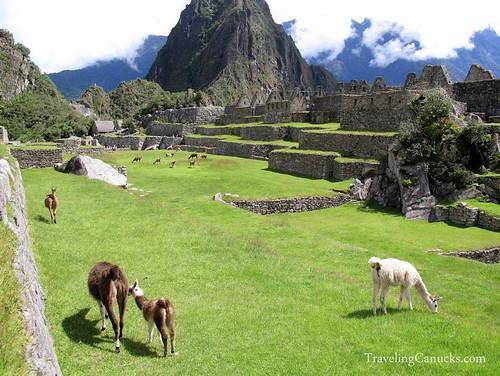 Llamas in Machu Picchu, Peru