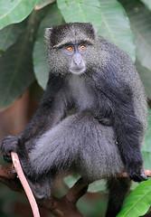 Blue Monkey, Lake Manyara National Park