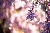 Touch Of Pink (moaan) Tags: life leica light sunlight 50mm dof blossom bokeh dr summicron utata 桜 cherryblossom sakura blossoming m9 digita weepingcherry f20 2011 枝垂桜 inlife pouringsunlight leicasummicron50mmf20dr leicam9 gettyimagesjapanq2