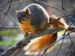 squirrel  stranded 1 (adam_mcintosh) Tags: colors animals portraits squirrels animales closeups animalia zoomlens
