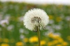 pluisig, look in Large (frans63) Tags: flowers flower nederland bloemen