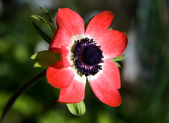 Red anemone (Theresa Elvin) Tags: red flower macro anemone