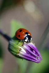 Ladybird on flower bud (Alexb01) Tags: flower macro nature pentax ladybird bud manualfocus kx