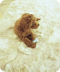 fraggled (girl enchanted) Tags: red puppy toy poodle pinocchio toypoodle poodlepuppy redpoodle