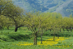 Orchard in Wachau, Austria (mlisowsk) Tags: flowers trees green grass yellow austria spring outdoor meadow orchard wachau flowersplants