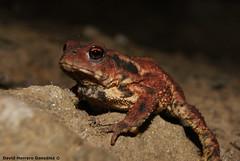 Bufo bufo (David Herrero Glez.) Tags: frog toad amphibians bufo anfibios anuros anures