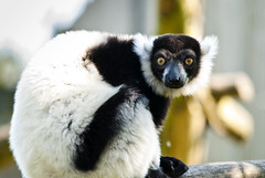 Black & White Ruffed Lemur (Simon Didmon) Tags: white black nikon sigma lemur 70200 f28 ruffed d3000