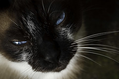Smize! (Chantal Wagner) Tags: cat kitty siamese gato felino willy felisdomesticus canonef100mmf28macrousm