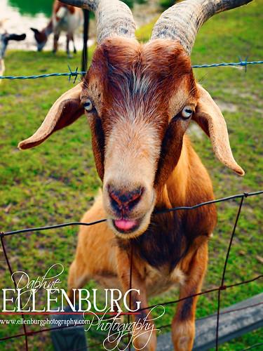 16/52 Furry Goats