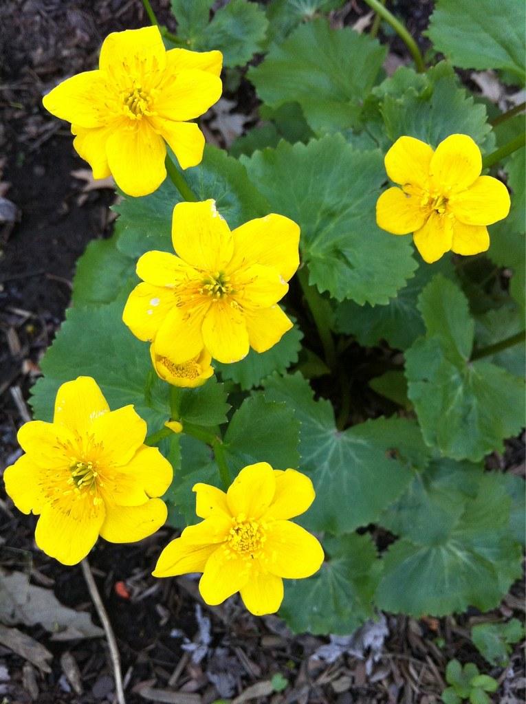 Roses In Garden: Scioto Gardens