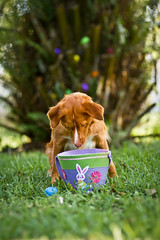 I think I'm missing one... (Neptunecocktail) Tags: cute animal easter duck basket miami egg canine retriever pup toller easteregg happyeaster novascotiaducktollingretriever duckdog sigma85mmf14